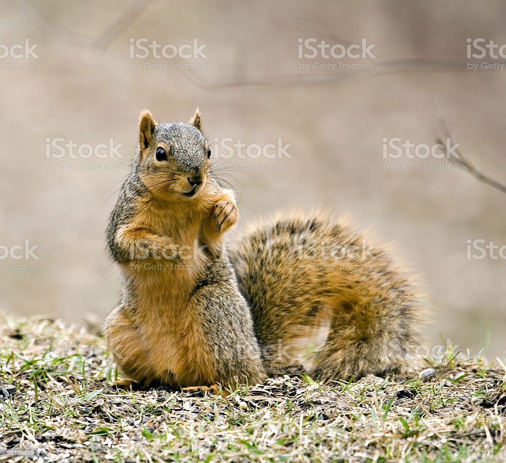 A squirrel by himself sitting in the grass stock photo