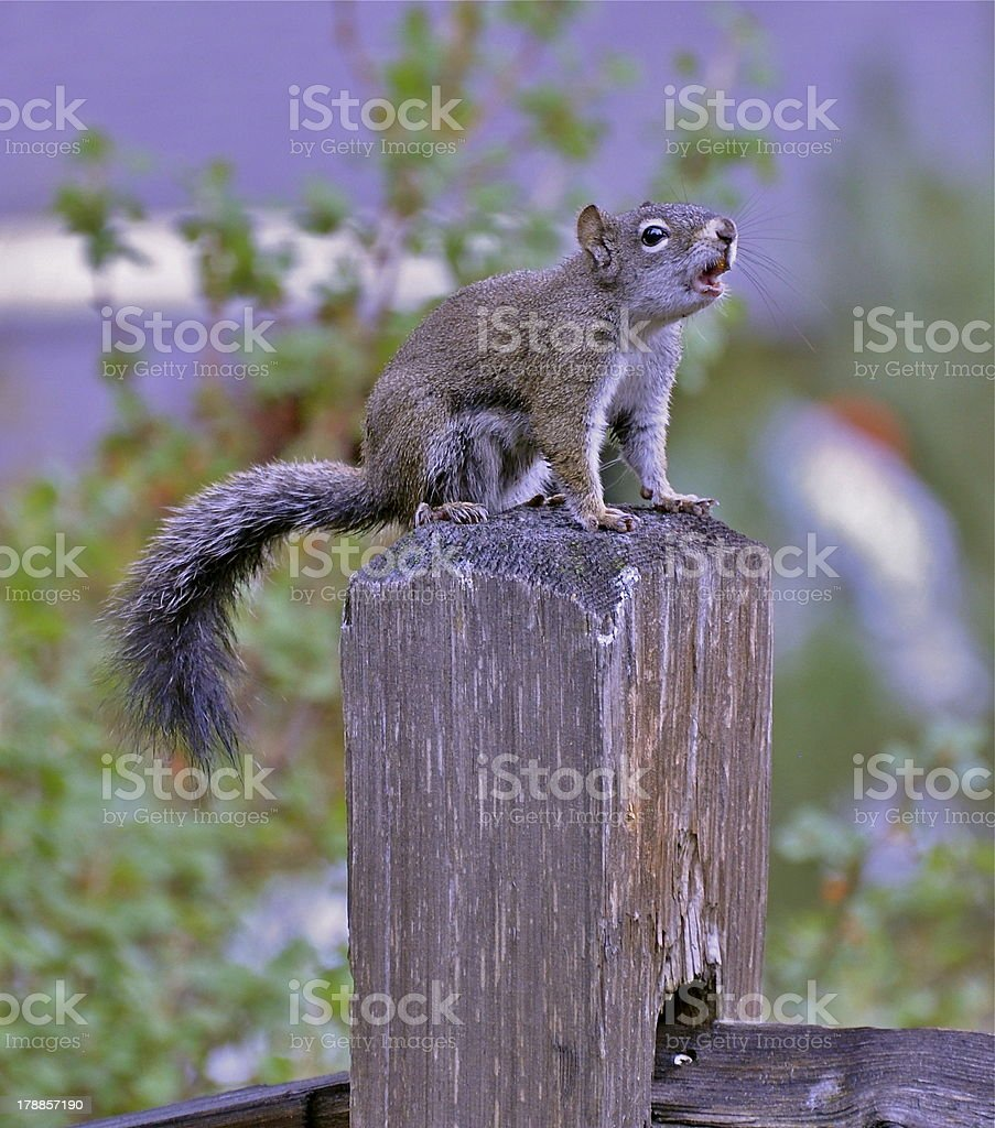 Squirrel chirps at passers by from fence post royalty-free stock photo