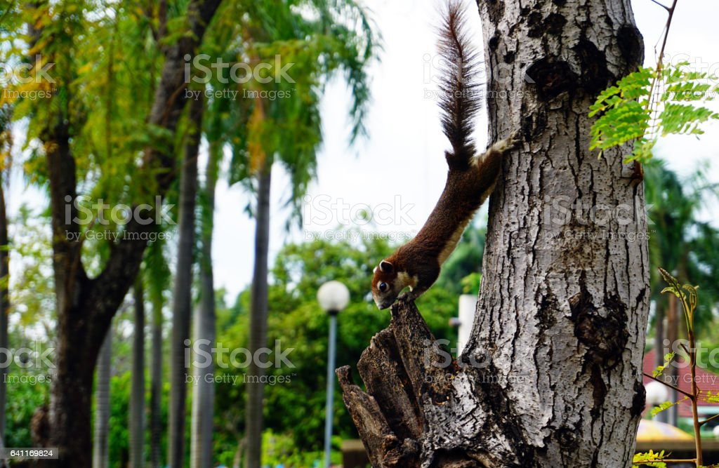 Squirrel climbing down a tree. small furry animal looking curious. stock photo