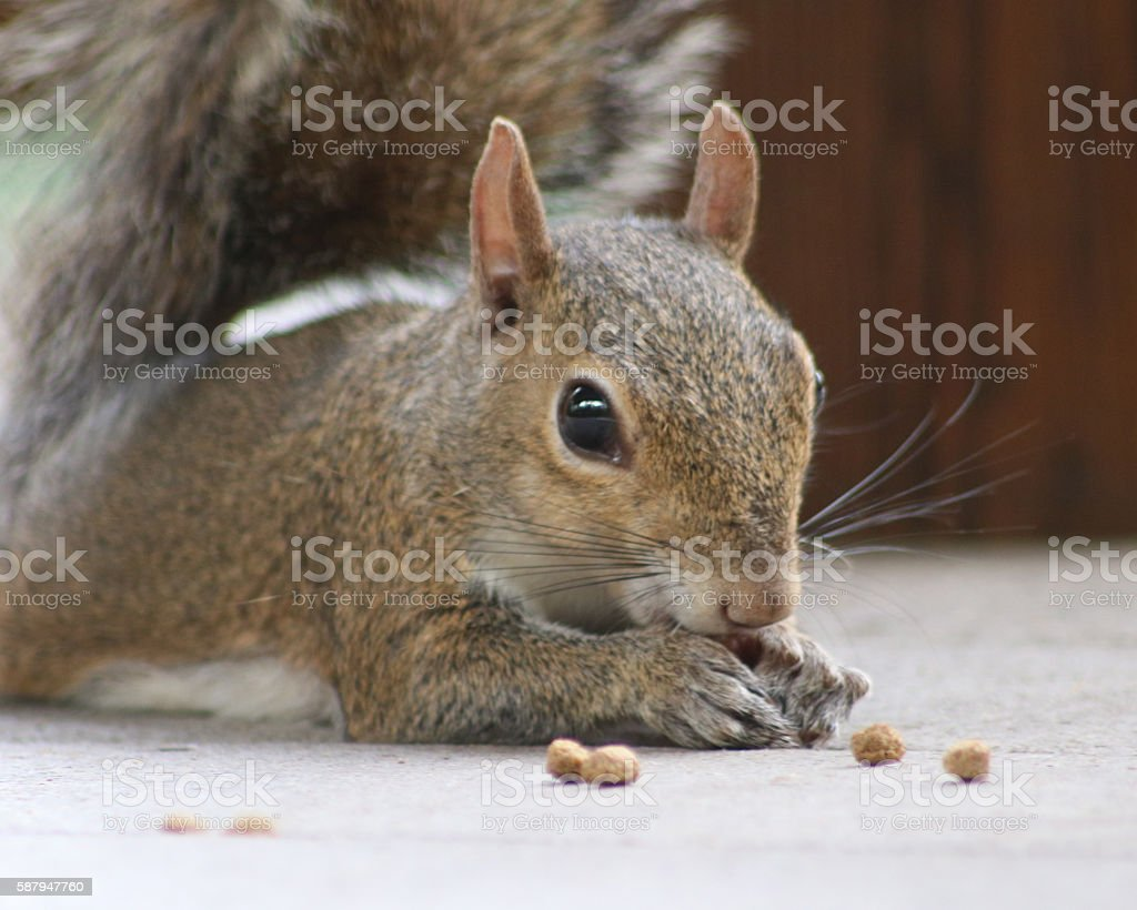 Squirrel closeup eating photo libre de droits