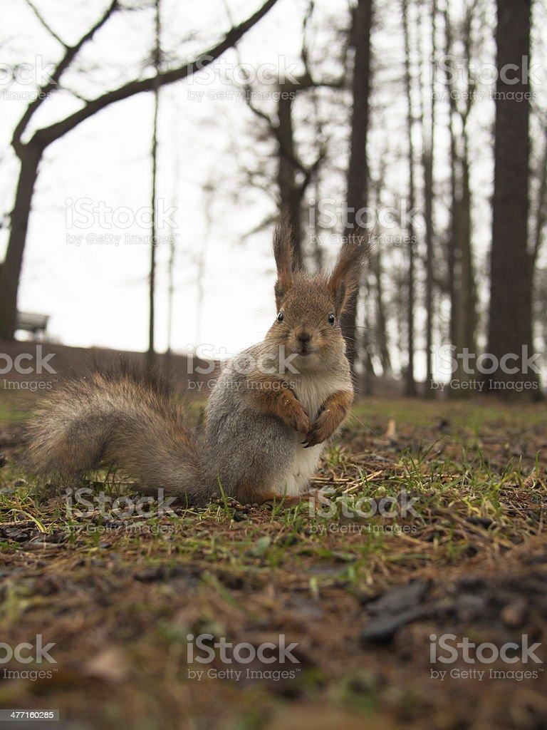 Squirrel closeup stock photo