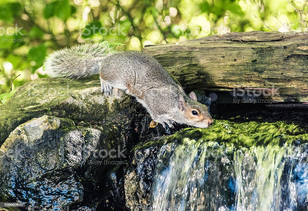 Squirrel drinks to cool off stock photo