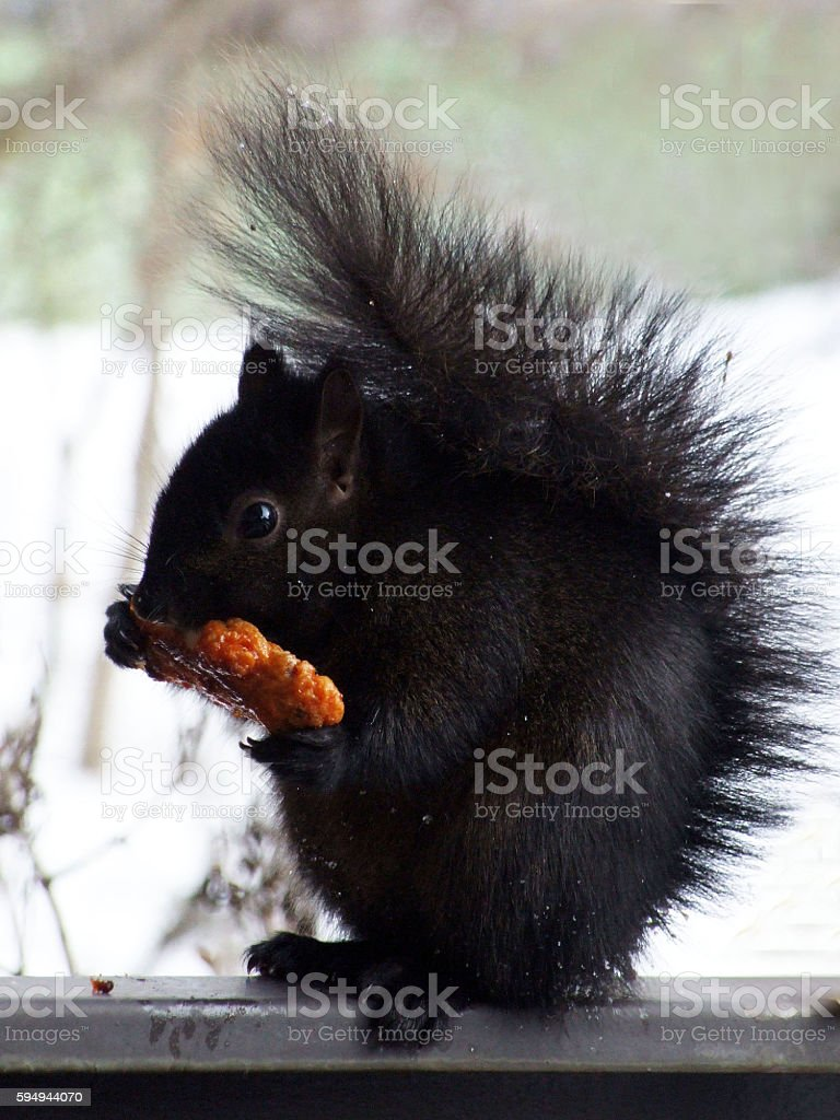 Squirrel eating a chicken wing stock photo