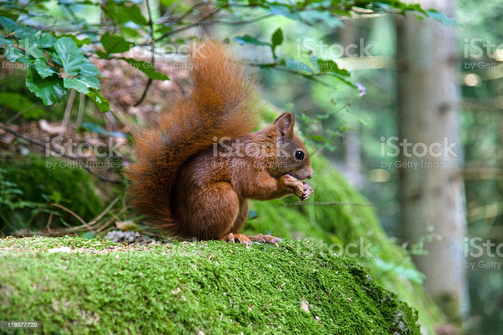Squirrel eating a nut royalty-free stock photo