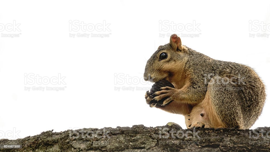 Squirrel eating a nut stock photo