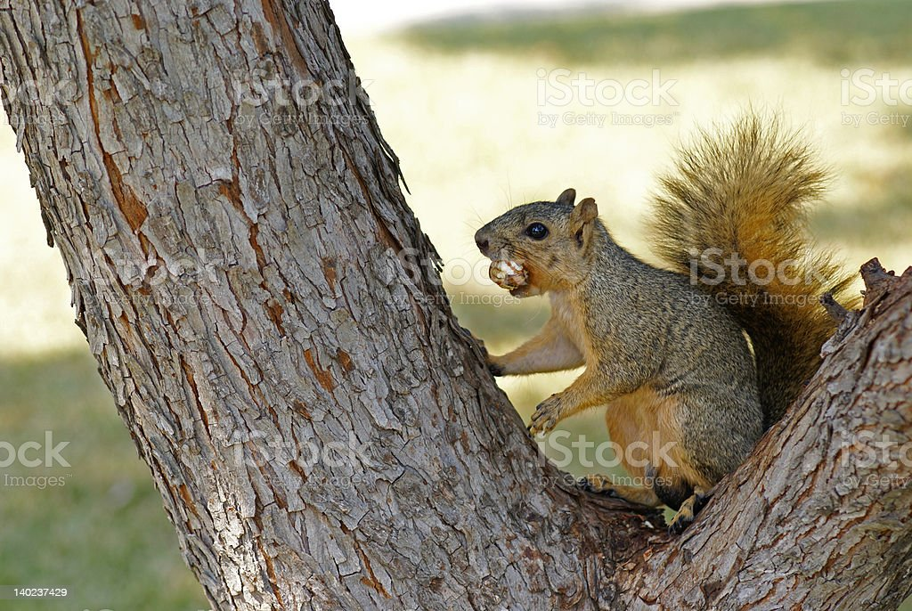 squirrel eating a pecan in a tree stock photo