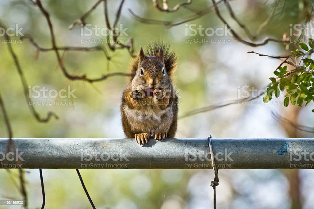 Squirrel Eating an Acorn stock photo