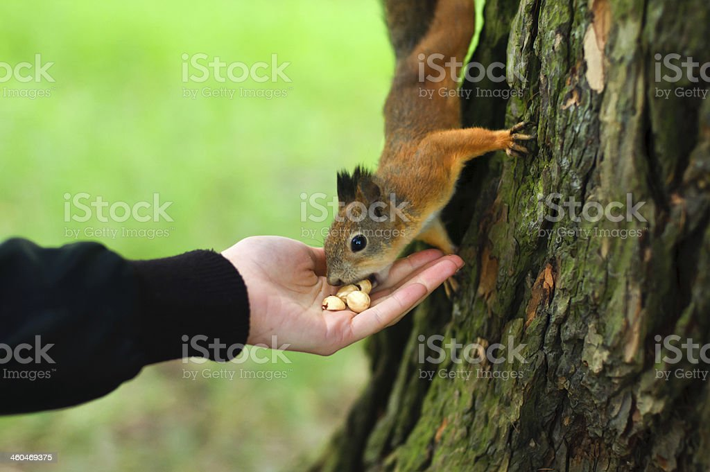 Squirrel eating in the hand stock photo