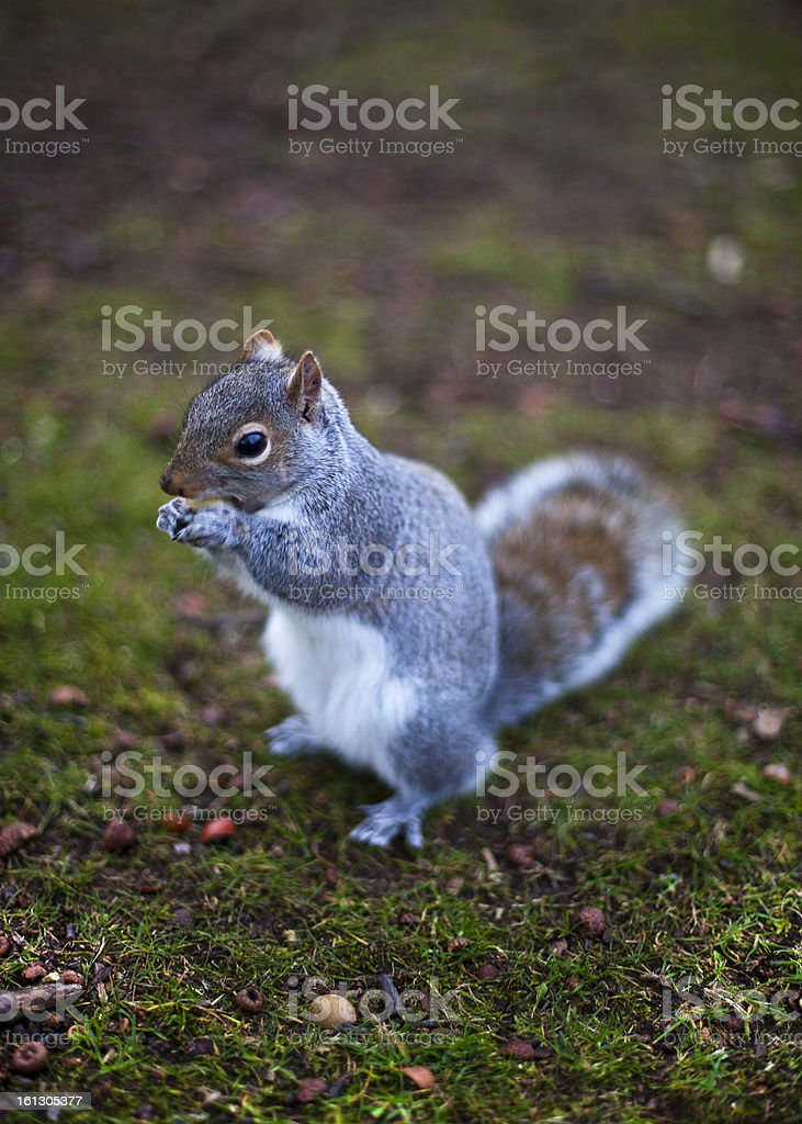 Squirrel eating nut royalty-free stock photo