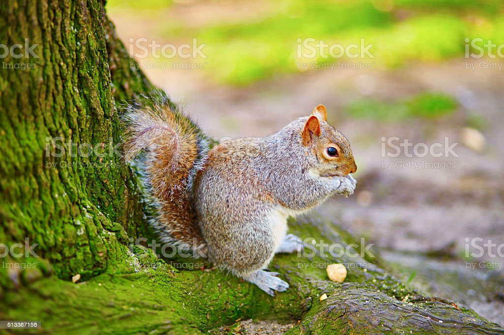 Squirrel eating nuts in Regent's park of London stock photo
