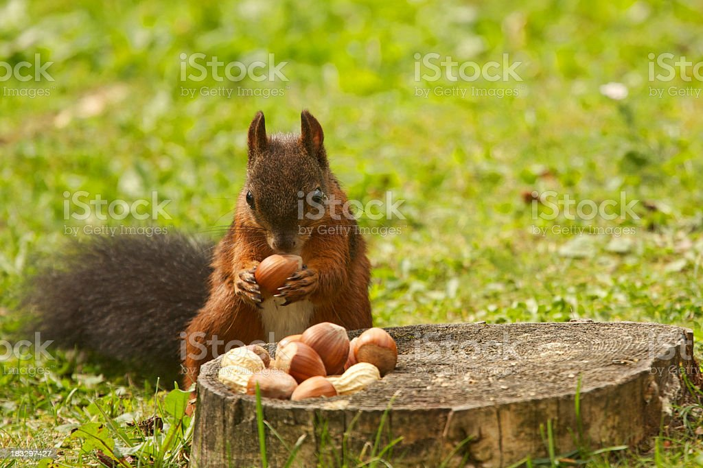 Squirrel eating nuts on tree stump stock photo