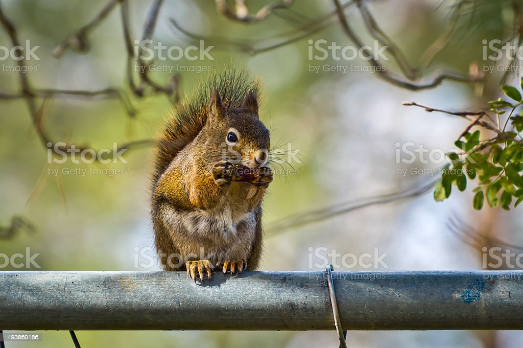 Squirrel Eating on Fence stock photo