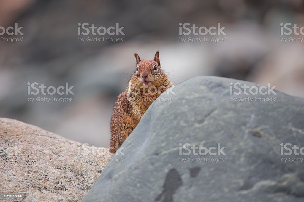 Squirrel eating on top of a rock stock photo