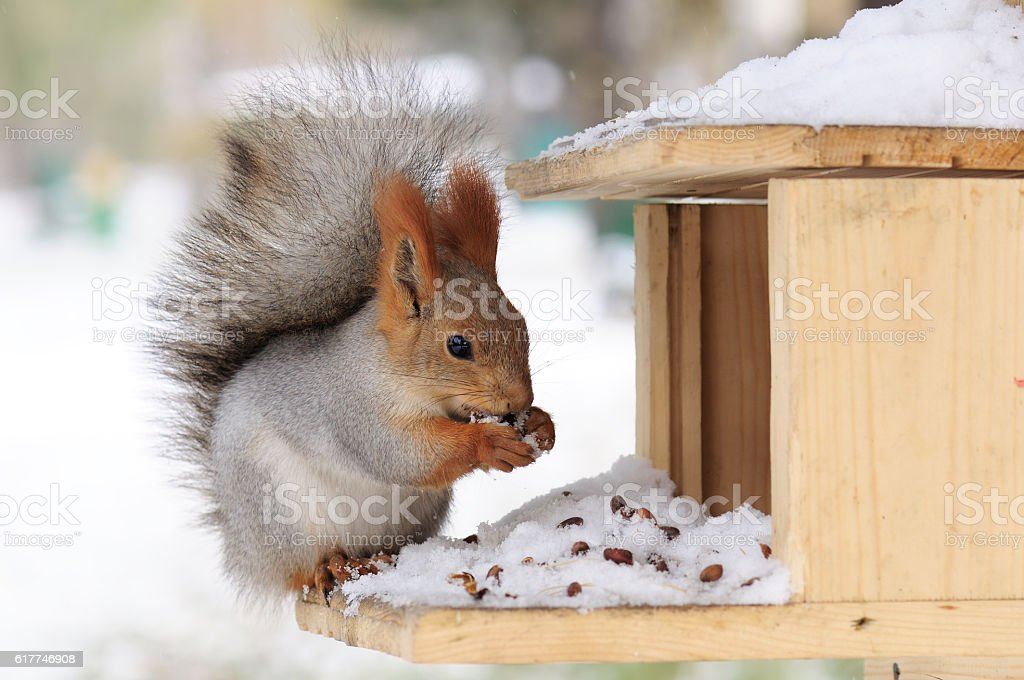 Squirrel eating pine nuts. stock photo
