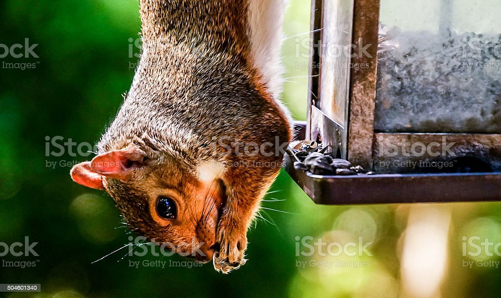 Squirrel Eating Upside Down stock photo