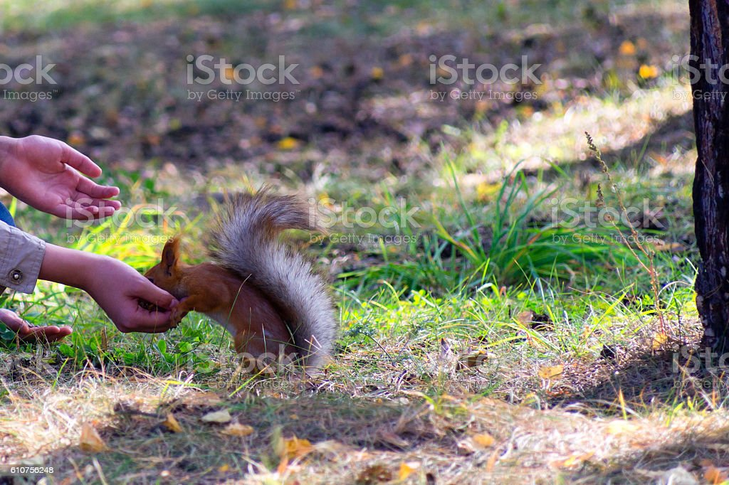 Squirrel eats from a hand in the park stock photo