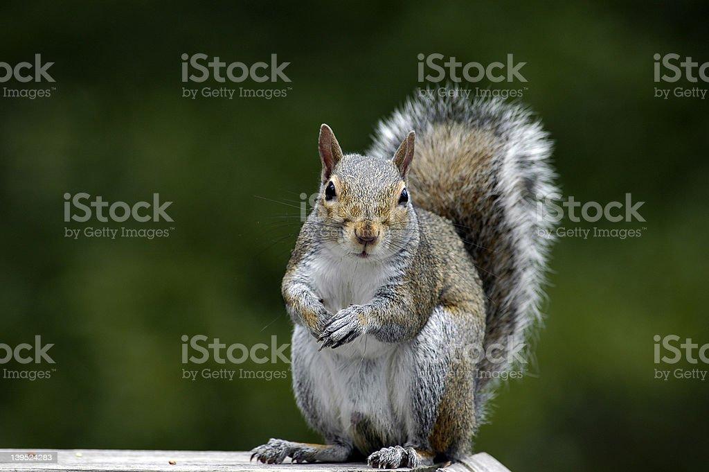 Squirrel Feeding royalty-free stock photo