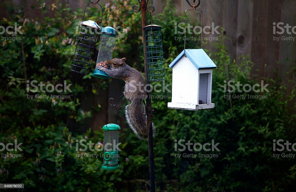 Squirrel feeding stock photo