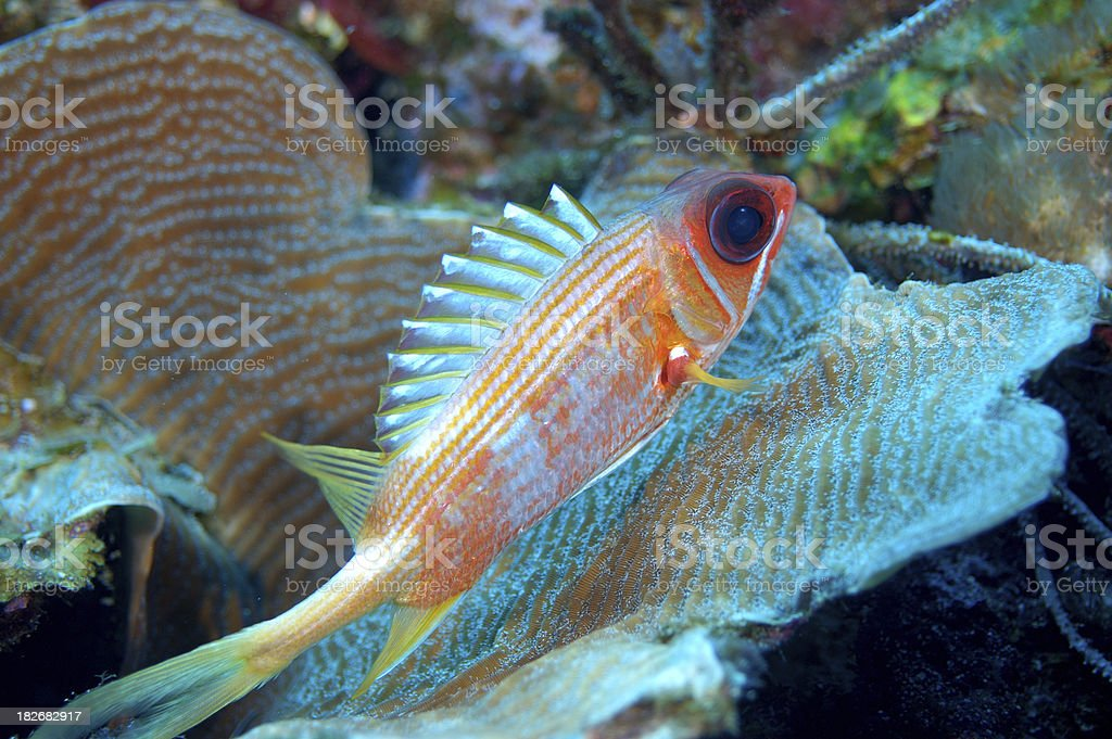Squirrel Fish royalty-free stock photo