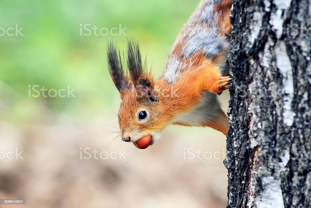 squirrel funny Peeps out with the walnut in the teeth stock photo