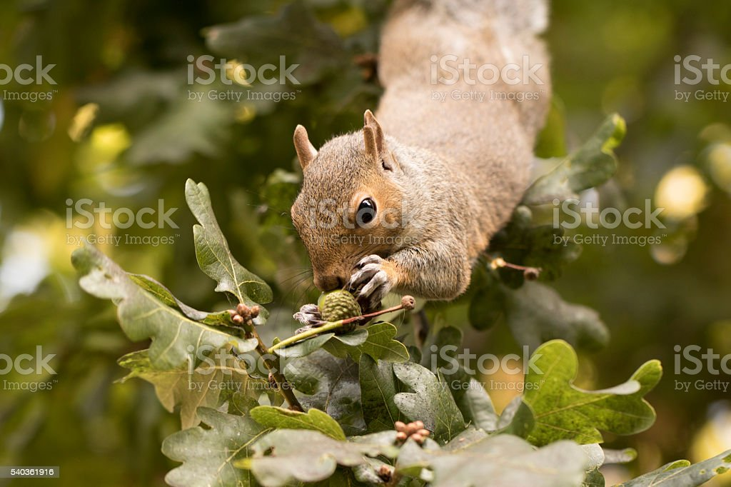 Squirrel gathering nuts stock photo