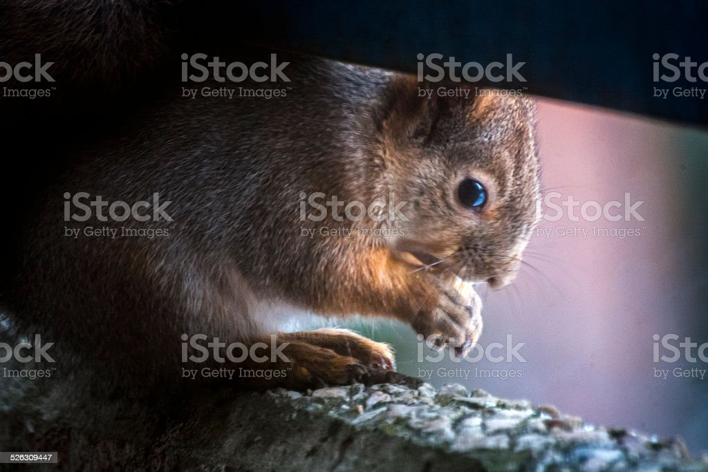 Squirrel geting a snack royalty-free stock photo