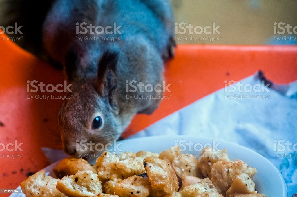 Squirrel geting snacks royalty-free stock photo
