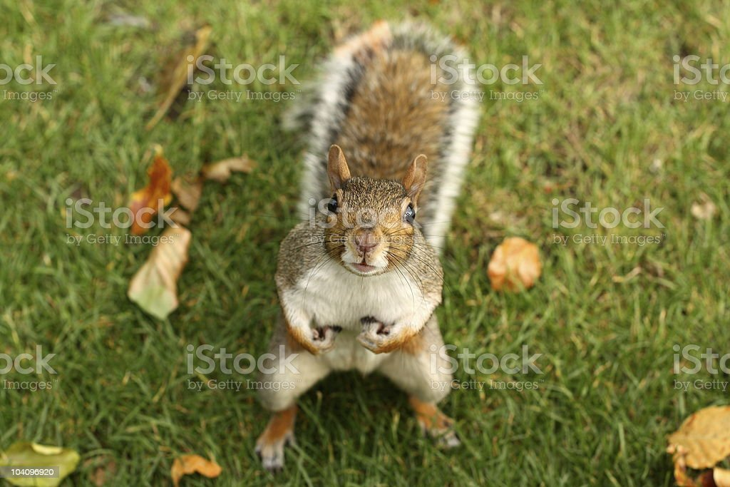 Squirrel holding nuts on grassy field stock photo