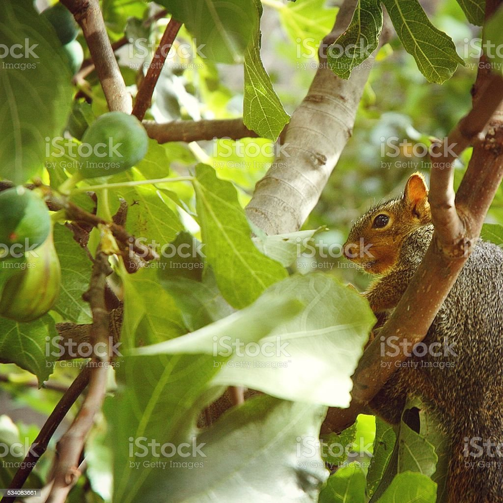 Squirrel in a Fig Tree stock photo