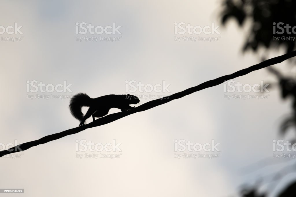 squirrel in a hurry over a rope stock photo