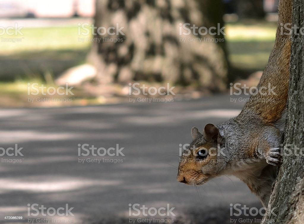 Squirrel in a park, Boston, MA royalty-free stock photo