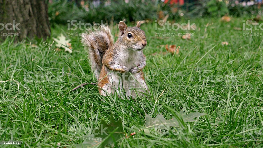 Squirrel in a park stock photo