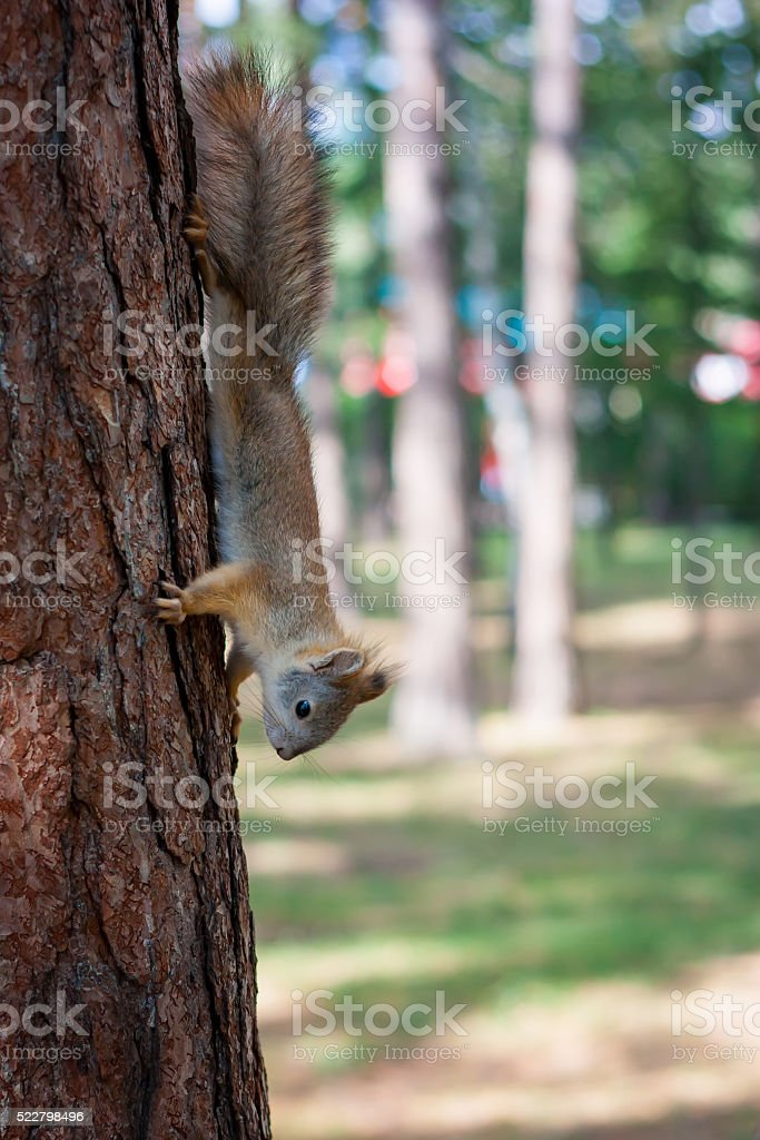Squirrel in a summer park royalty-free stock photo