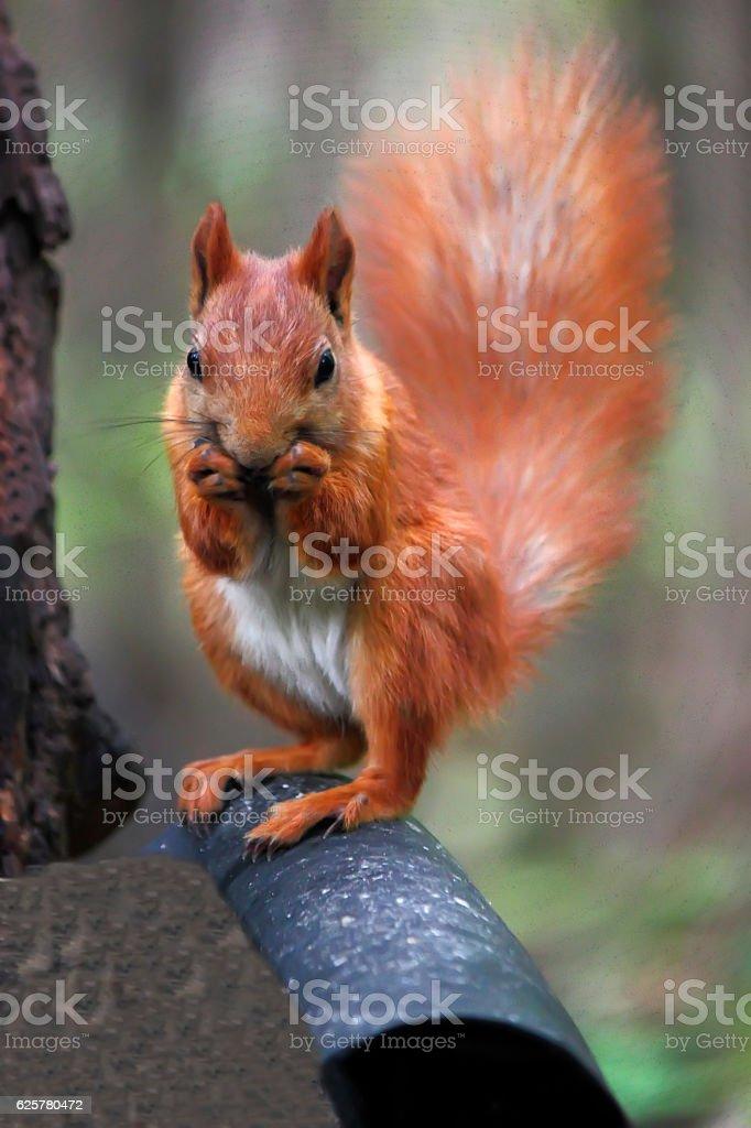 Squirrel in autumn forest. stock photo