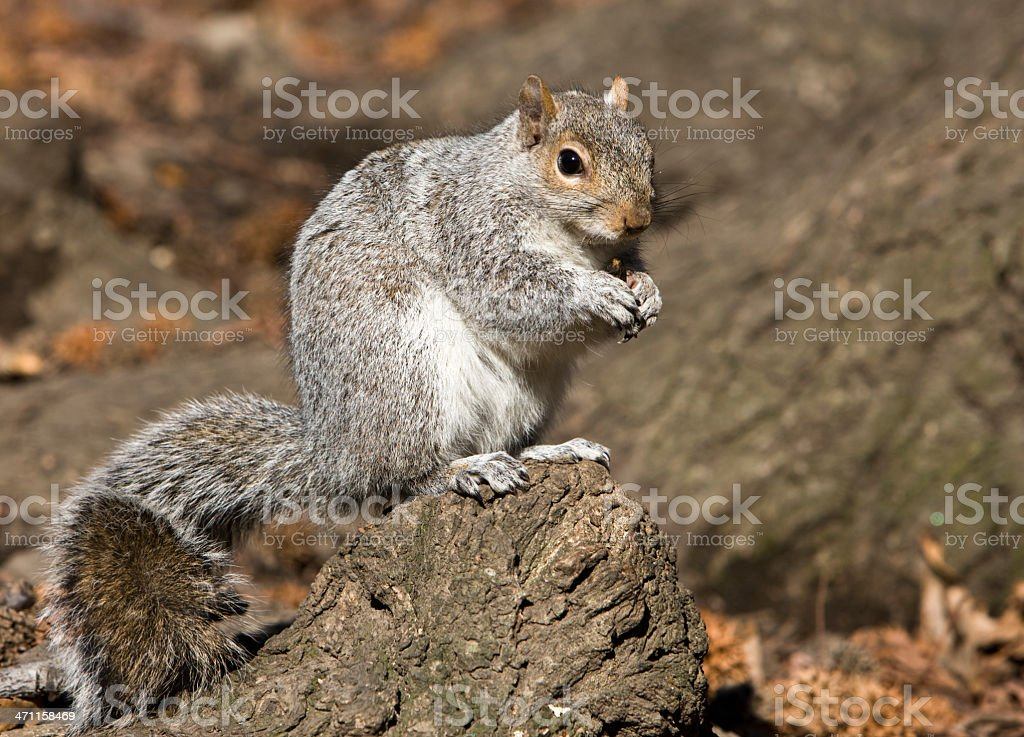 Squirrel in Central Park royalty-free stock photo