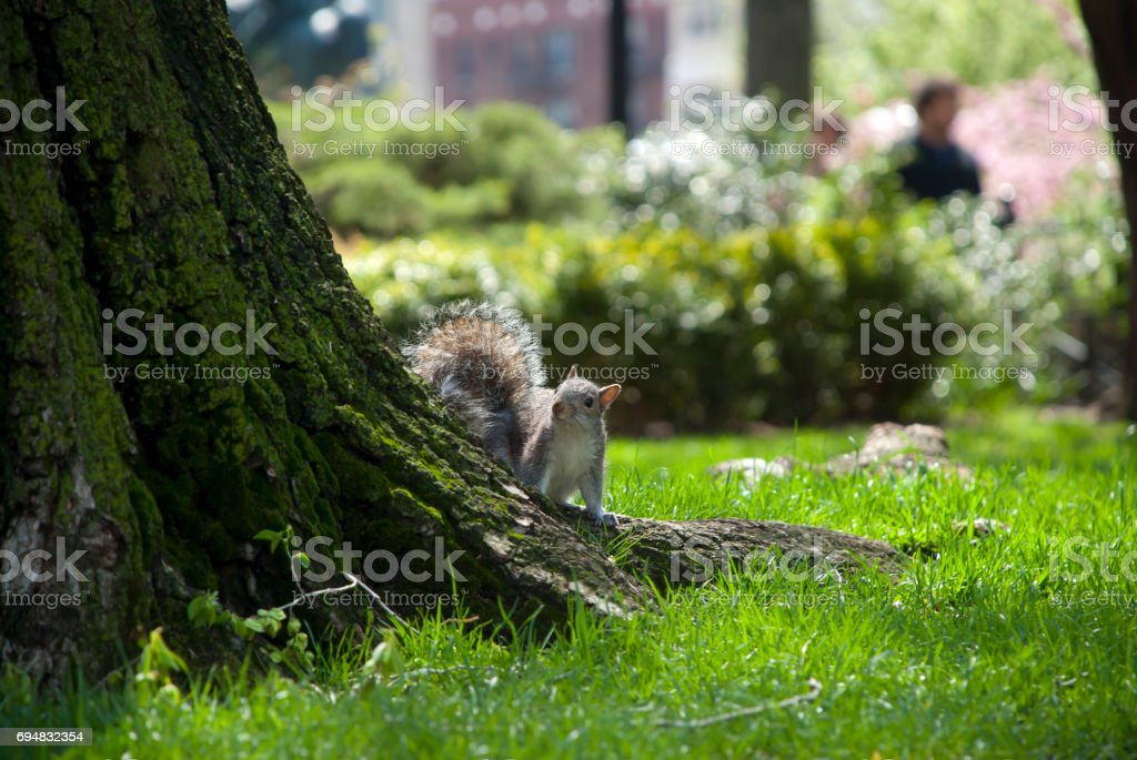 Squirrel in New York stock photo