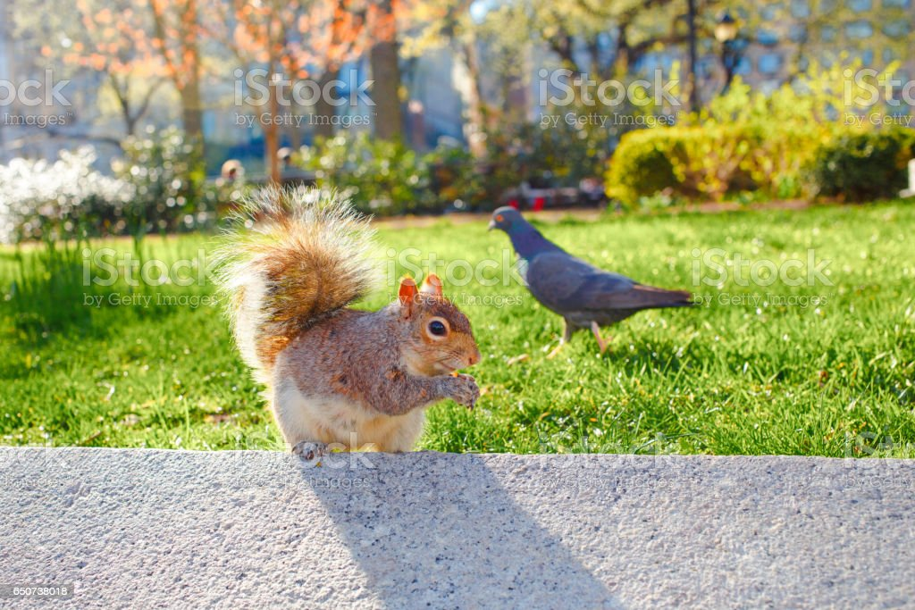 squirrel in the park green grass springtime stock photo