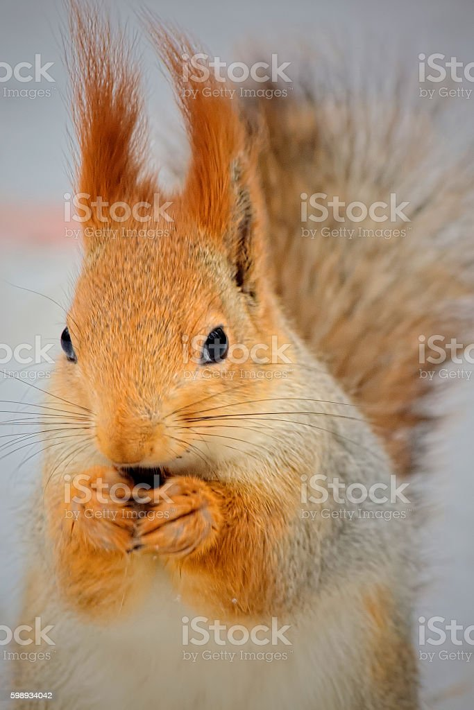 Squirrel in the winter forest stock photo