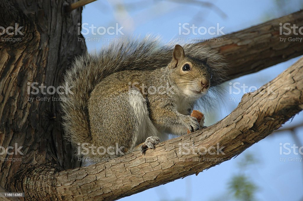 Squirrel in tree Eating stock photo