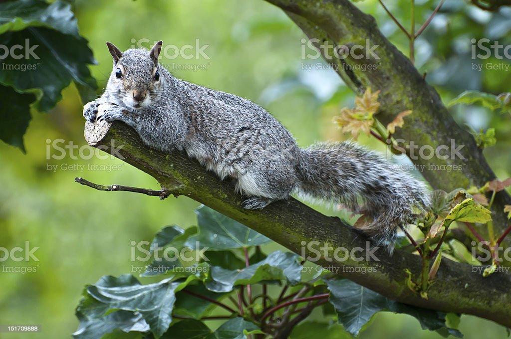 Wiewiórka w tree zbiór zdjęć royalty-free