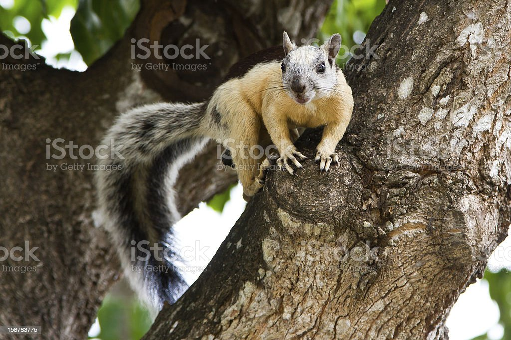 Squirrel in tree royalty-free stock photo