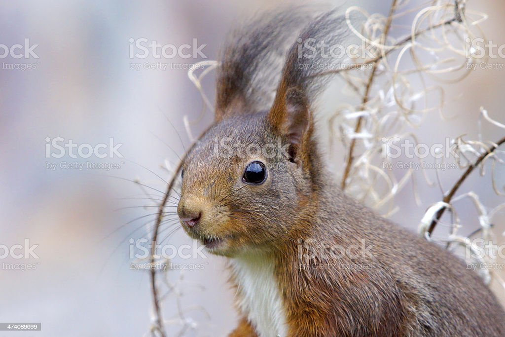 Squirrel in winter stock photo