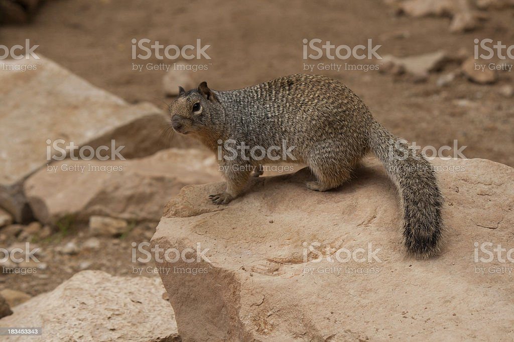 Squirrel in Zion National Park royalty-free stock photo
