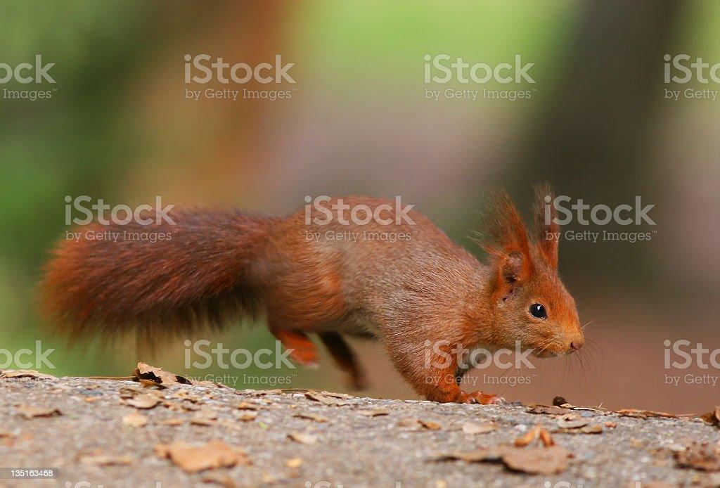 Squirrel Jump royalty-free stock photo