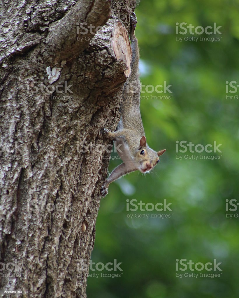 Squirrel looking down from tree photo libre de droits