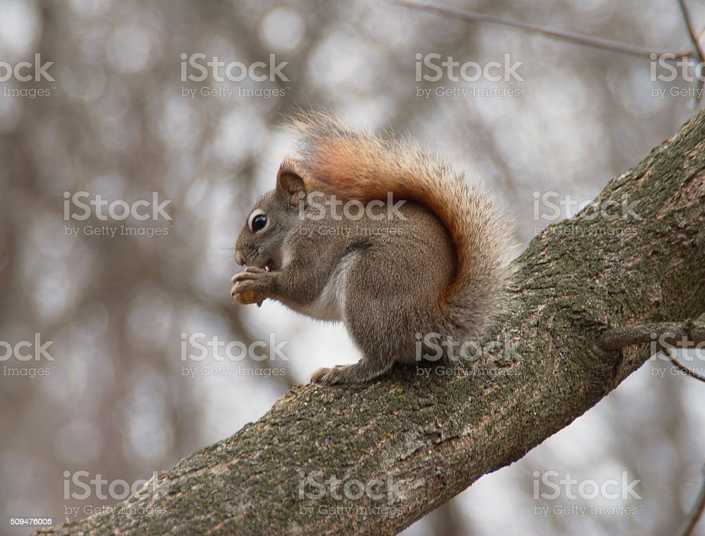 Squirrel looking for  a  food stock photo