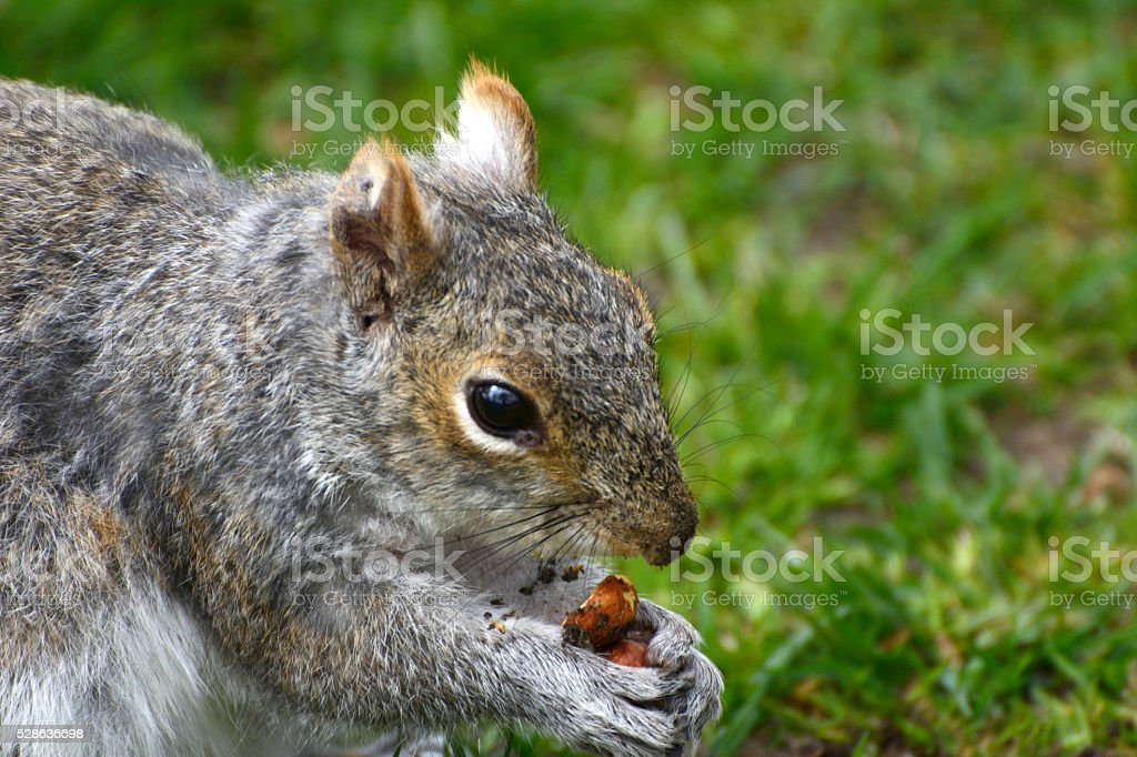 Squirrel Macro stock photo