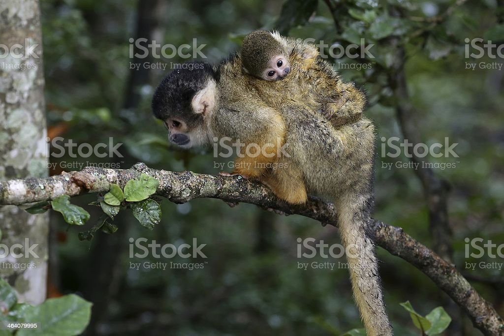 Squirrel Monkey and Baby stock photo