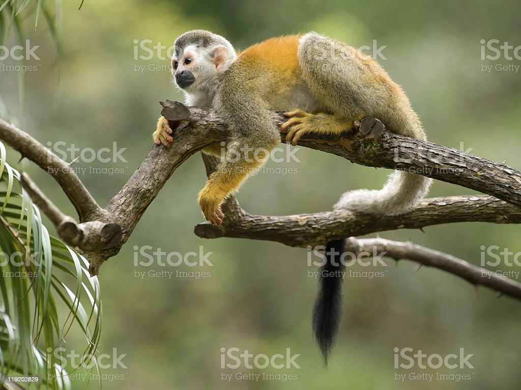 Squirrel monkey in a branch, Costa Rica royalty-free stock photo