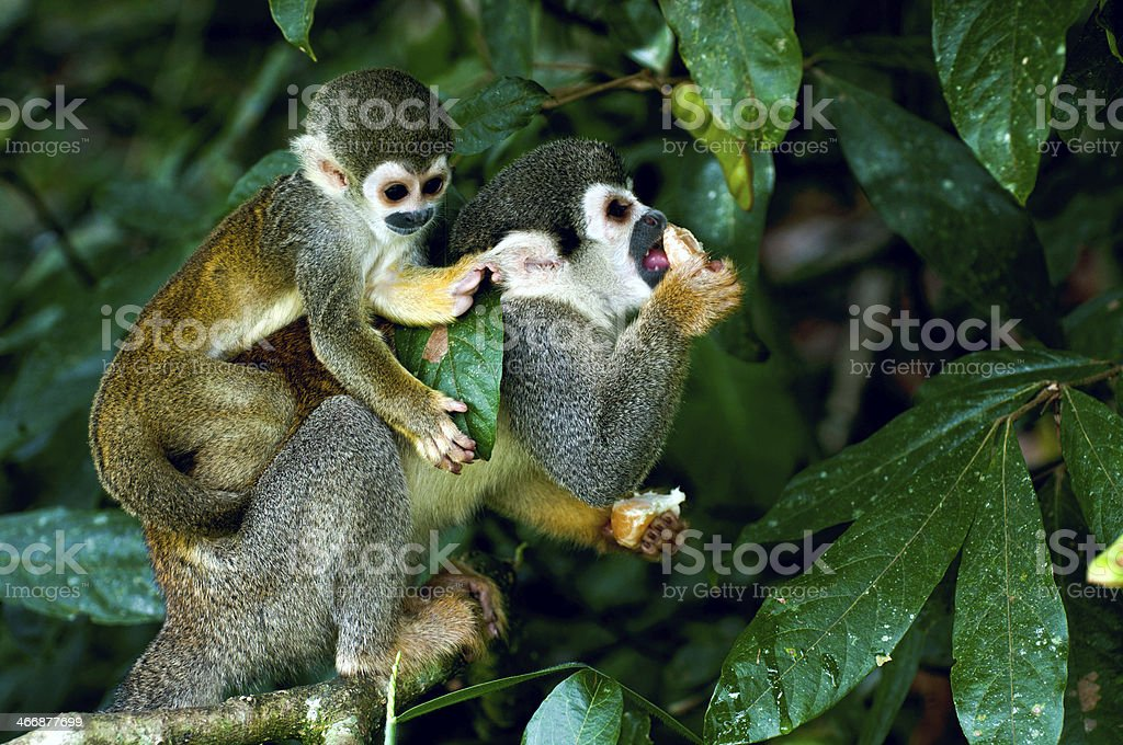 Squirrel Monkey in amazon rainforest stock photo